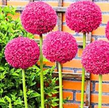 100pcs Allium giganteum Allium Flower Plants Very Admirable Flower Seeds... - £13.18 GBP