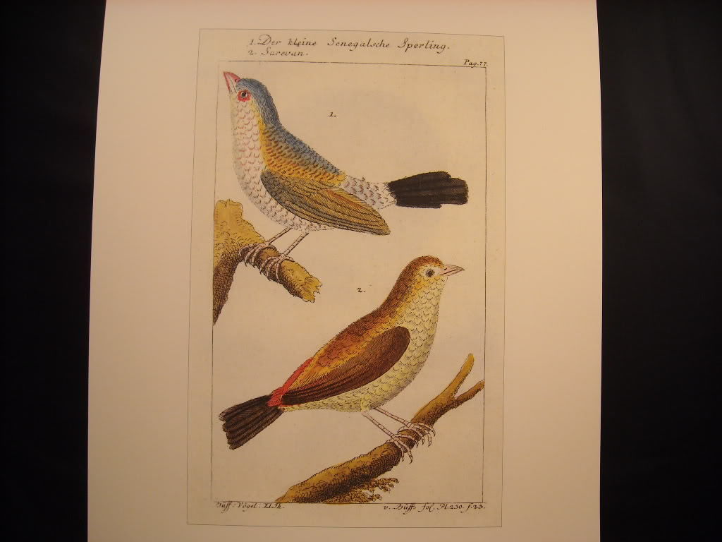 18th 19th Century Bird Reprint Der kleine Senegalsche Sperling