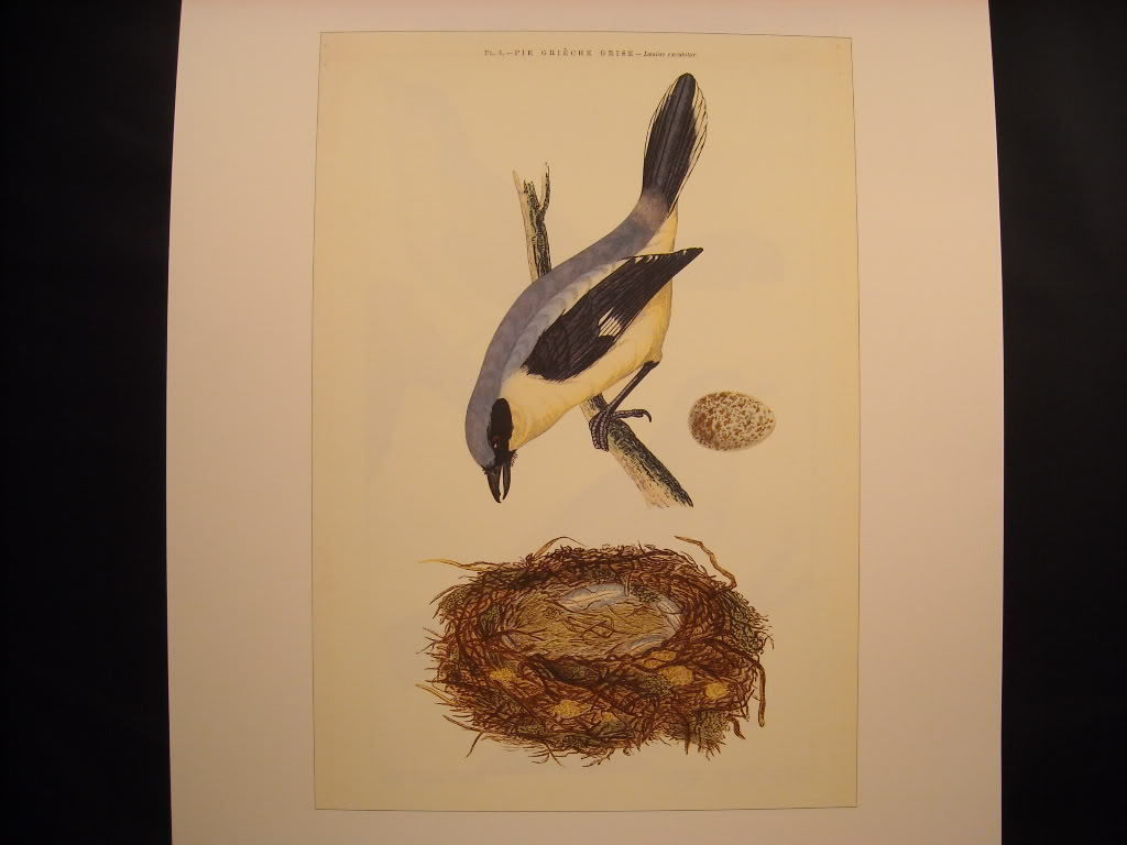 Vintage Color Reprint Bird 18th 19th Century Pie Grieche Grise French