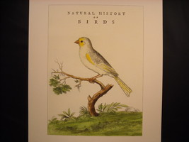 Vintage Color Bird Reprint Poster The Canary 18th 19th Century