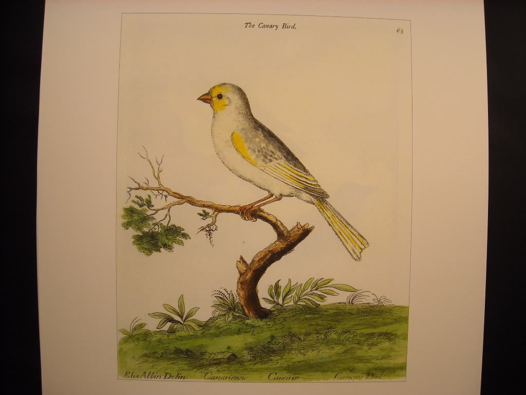 Canary Bird 18th 19th Century Reprint