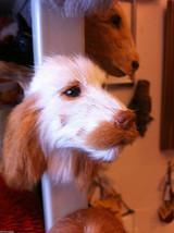 English Setter Spaniel brown or orange furry dog refrigerator magnet in 3D image 2