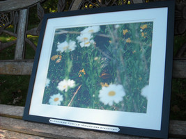 Framed color photo of a blandings turtle