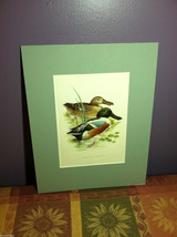 "Print of Northern Shoveler Duck from ""The Most Beautiful Birds"" Framed Wall Art"