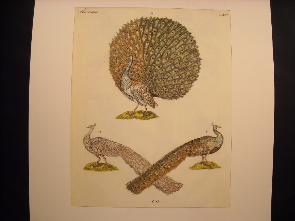 Three Peacocks 18th 19th Century Bird Reprint