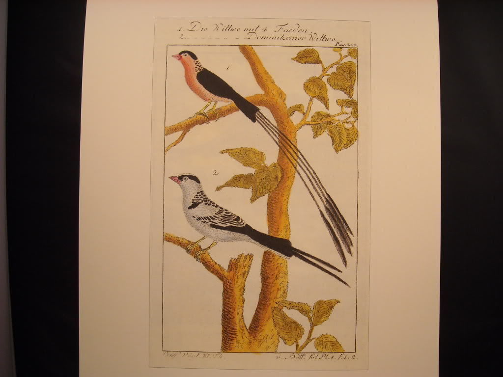 Vintage Color Bird Reprint Poster Die Wittwe Mit Dominikaner 18th 19th Century