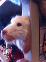 English Setter Spaniel brown or orange furry dog refrigerator magnet in 3D image 3