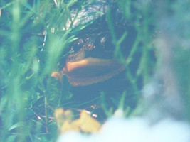 Framed color photo of a blandings turtle image 3