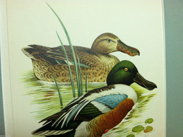 "Print of Northern Shoveler Duck from ""The Most Beautiful Birds"" Framed Wall Art image 3"