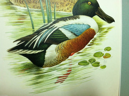 "Print of Northern Shoveler Duck from ""The Most Beautiful Birds"" Framed Wall Art image 4"