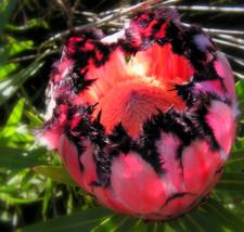 Protea Neriifolia * Oleanderleaf Protea * Amazing Flowering Plant * 3 Seeds * - $4.50