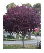 5 Cherry Plum seeds Prunus Cerasifera Fragrant Ornamental Tree CombSH M63 - $13.58