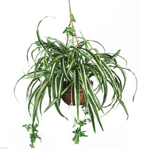 NEW Nearly Natural 6607 Spider Hanging Basket Decorative Silk Plant Green - $43.00