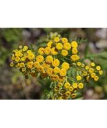 1 Starter Potted Plant of Tanacetum vulgare [Tansy] - $19.80