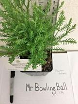 Mr Bowling Ball arborvitae quart pot  image 2