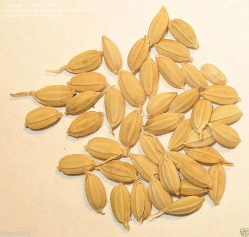 SHIPPED From US_Rice Seeds, 1 pound pack -WB