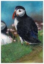 Puffins - A4 print of original colour pencil artwork + matt and mount - $40.00