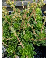 "2-4"" not in bloom ECHEVERIA ' succulent 1 rooted cuttings Houseplant tkdan - $32.00"