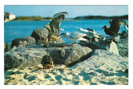 Maine Coast Sea Gulls Winged Beach Combers Photograph W P Moore Vintage Postcard - $5.59