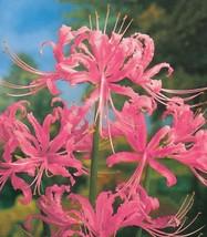50 Pink Lycoris Radiata Flower Seeds - $8.99