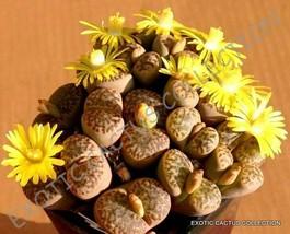 Rare Lithops Bromfieldii @J@ Mesembs Living Stone Rock Plant Seed 15 Seeds - $7.99