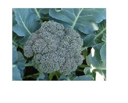 Waltham Broccoli 29 (select 500 - 144,000 Seeds) Fresh great for farmers markets - $1.08+
