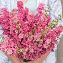 Carmine Larkspur Seed  / Larkspur Flower Seeds - $17.00