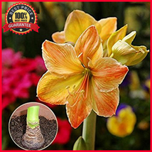6 BIG Yellow Sunrise Amaryllis Bulbs, Hippeastrum Flowers - Rare & Fast ... - $15.99