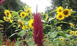 15 Seeds of Helianthus annuus - Many Heads Per Plant - $11.74