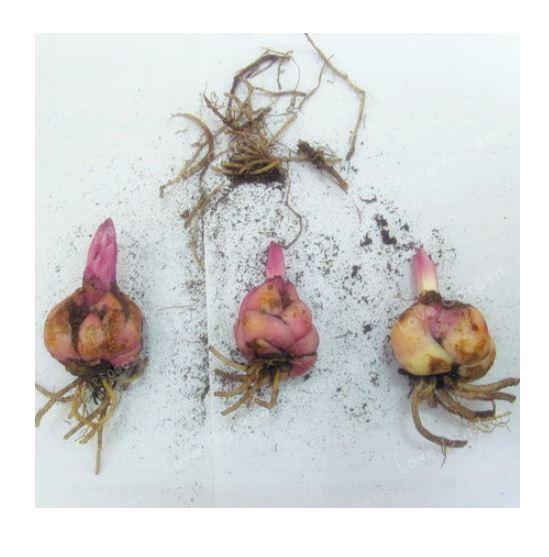 HAPPY FLOWER 2 Bulbs BLEARJOSARI True Lily Bulbs Perfume Flower High germination