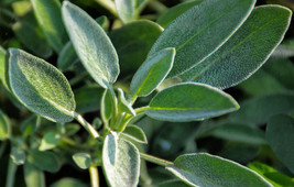 Live Plant - Common Sage - Perennial - Ready to be planted - $17.80
