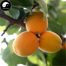 Buy Apricot Fruit Tree Seeds 25pcs Plant Armeniaca Vulgaris For Chinese ... - $5.99