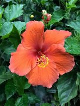 Live Starter Plant Red Hibiscus rosa-sinensis 'President'– Southstr - $28.75