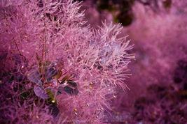 480 Seeds Oregon Holly Grape, Mahonia aquifolium, Shrub Seeds (Edible, Hardy, Sh - $36.20