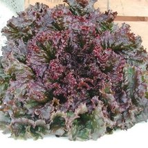100 Seeds of Red Sails Lettuce Organic & Pelleted - $22.87