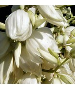 6 Adam's Needle Yucca (Yucca Filamentosa) Bulbs/Rhizomes- Fresh & Ready ... - $49.95