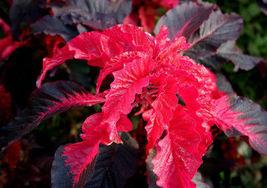 75 Pcs Amaranthus Seeds, Early Splendor, Foliage Plant Seeds Eye Catchin... - $13.99