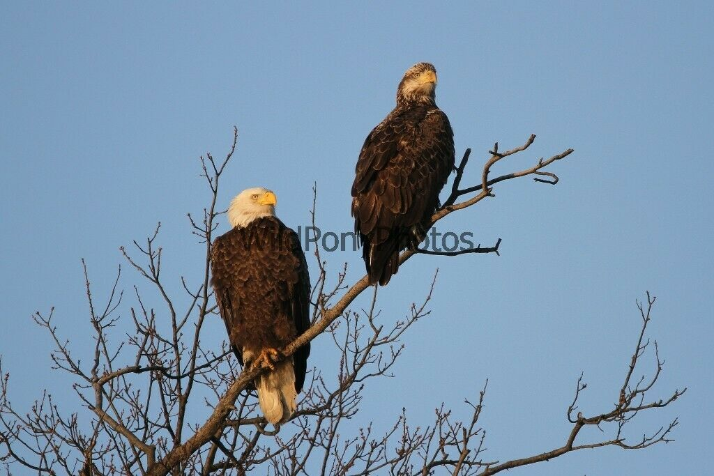 Primary image for Bald Eagle Pair Photo - Various Sizes