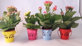 "Kit set party collection Kalanchoe' - 4 plants 2"" Pot - In Bud and Bloom  - ₨1,512.45 INR"