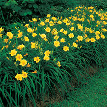 Stella de Oro Daylily 10 fans/roots reblooming yellow blooms image 3