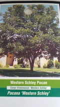 Western Schley Pecan Tree Shade Trees Live Healthy Plant Large Pecans Nuts Wood - $123.70