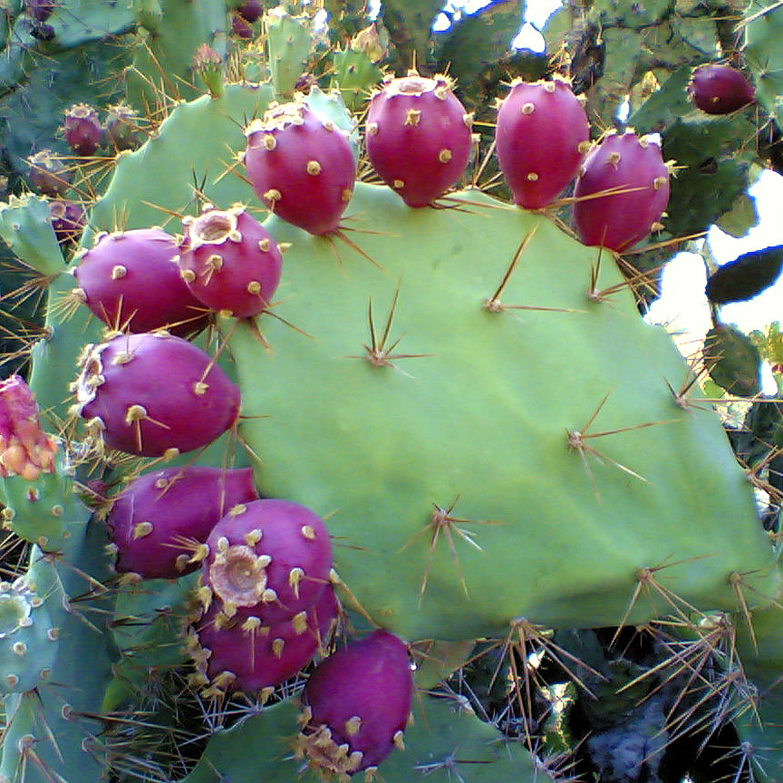 Prickly Pear Cactus Seeds (Opuntia stricta) 20+ Rare ...