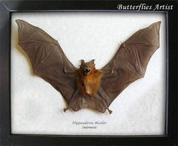 Dracula Bat Hipposideros Bicolor Taxidermy Framed In Museum Quality Display  - $129.99
