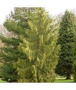 7 Year PLANT of Chamaecyparis Nootkatensis Pendula - $356.40