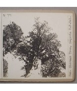 GEN. SHERMAN TREE / 17 MILE DRIVE CA PHOTO STEROVIEWS - $40.00