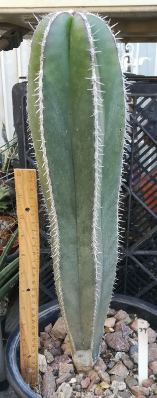 Stenocereus marginatus Mexican Fence Post Cactus Spines in Neat Lines on Ribs 39
