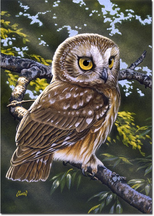 Saw whet owl 9593