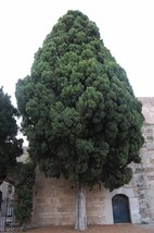 30 Italian Cypress, Cupressus sempervirens, Tree Seeds (Fast, Evergreen) - $10.99