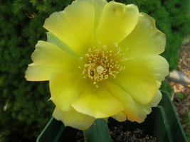 Organic Native Plant, Eastern Prickly Pear Cactus, Opuntia humifosa - $3.50