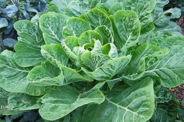 500 seeds, or 1.7 g - Collard Vates - Grow a Proven Southern Heirloom - $8.99